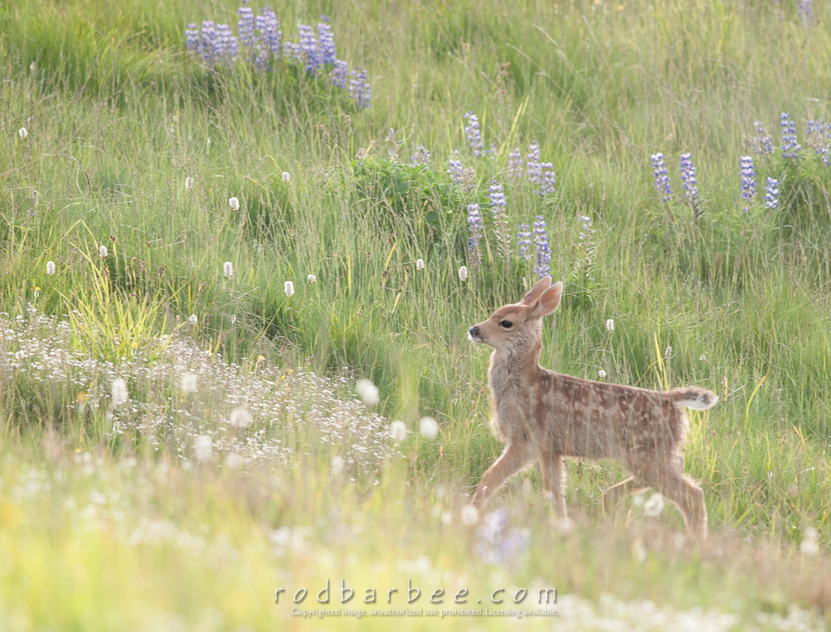 Barbee_120722_3_7009 |  Columbia blacktail deer fawn