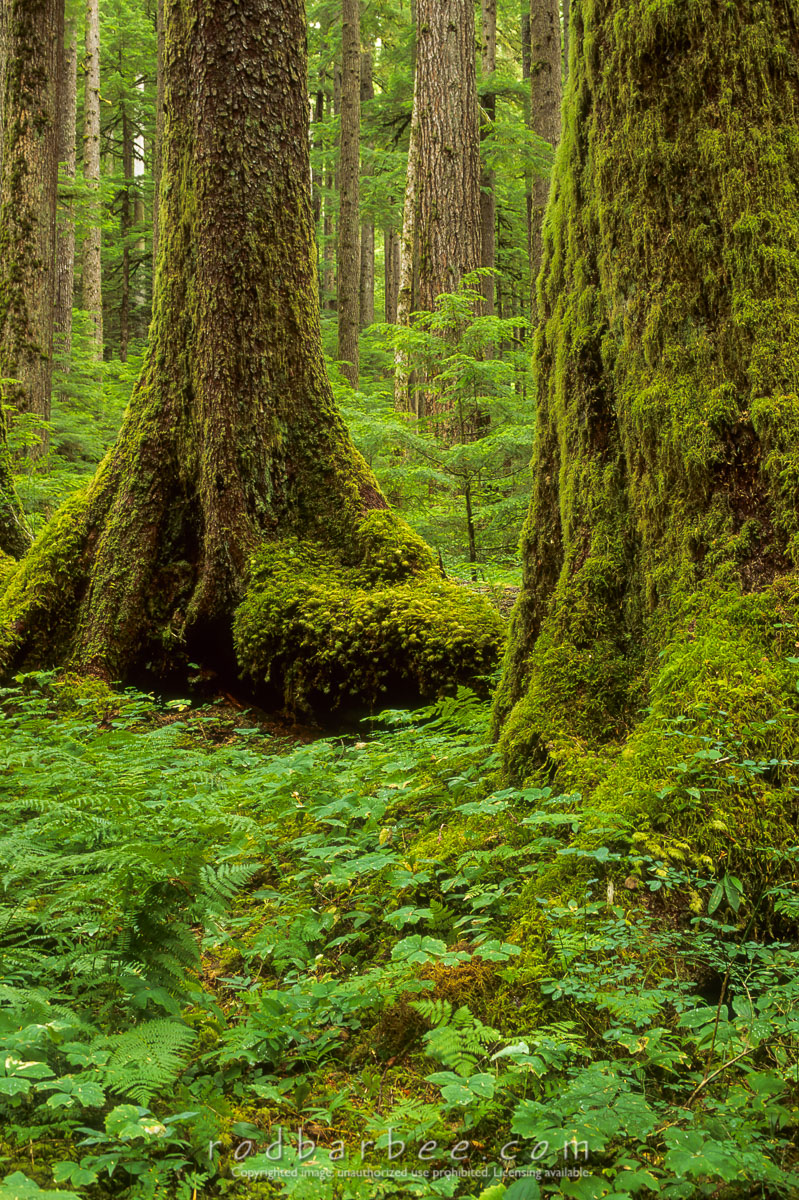 barbee_10052 |  Old growth forest, Sol Duc trail, Olympic National Park, WA
