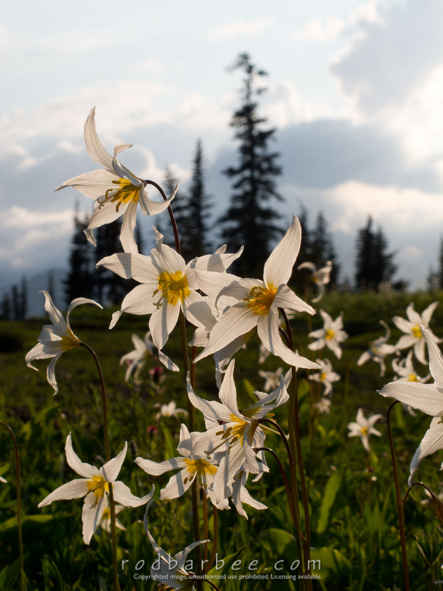 Barbee_100803_G11_0967 |  Avalanche Lilies
