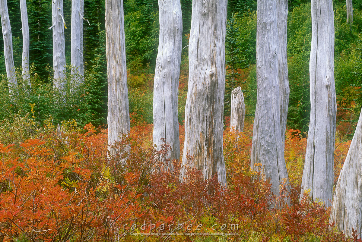 Barbee_11321_4x6adobergb |  Dead subalpine fir trunks in fall color, Mt. Rainier National Park