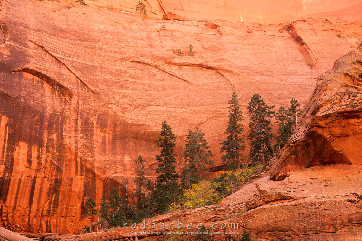 barbee_10949 |  Ponderosa pine and sandstone wall at Double Arche Alcove, Taylor Creek Trail, Kolob Canyons area of Zion National Park, UT