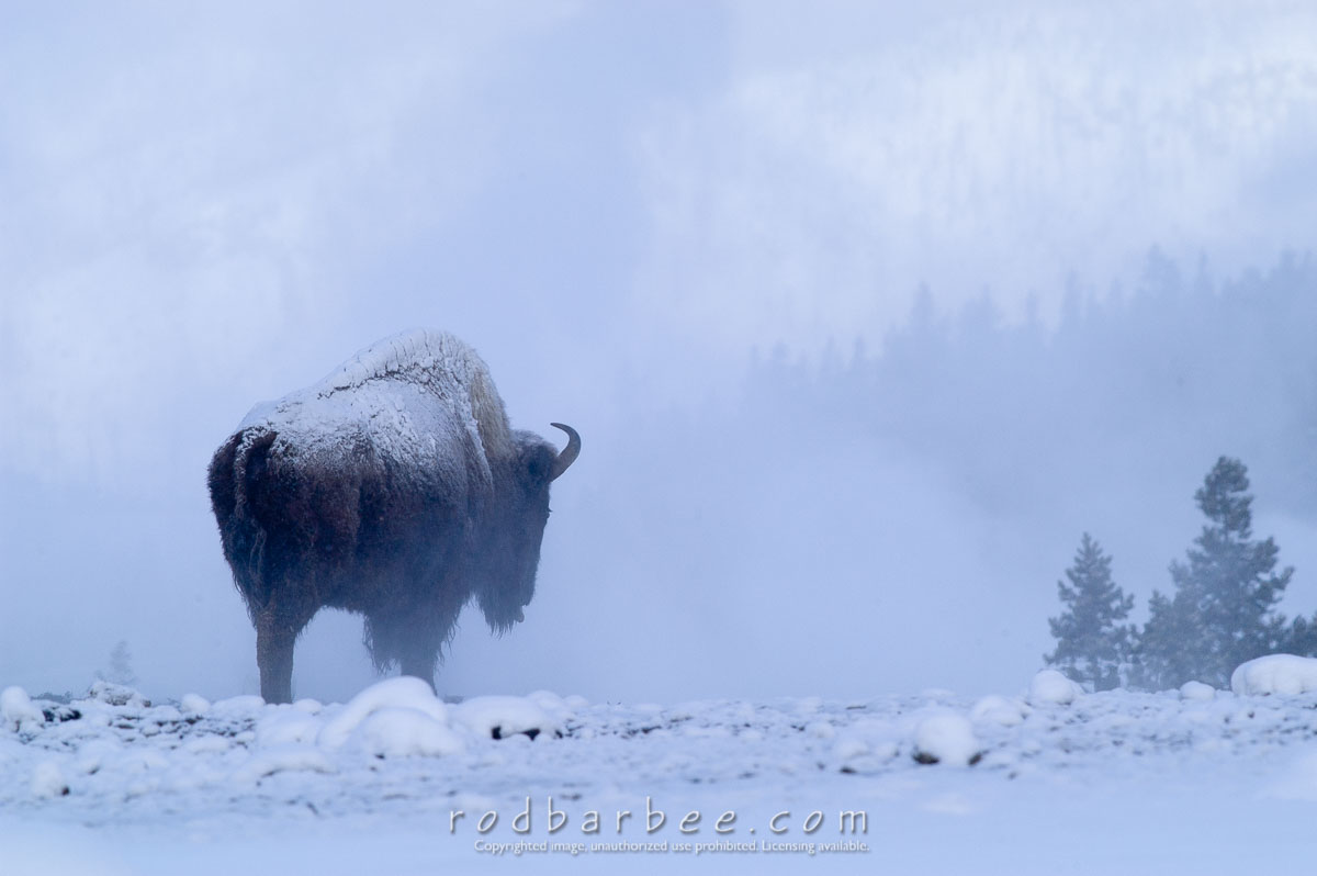 Barbee_060119_1_9689 |  Bison in snow and mist