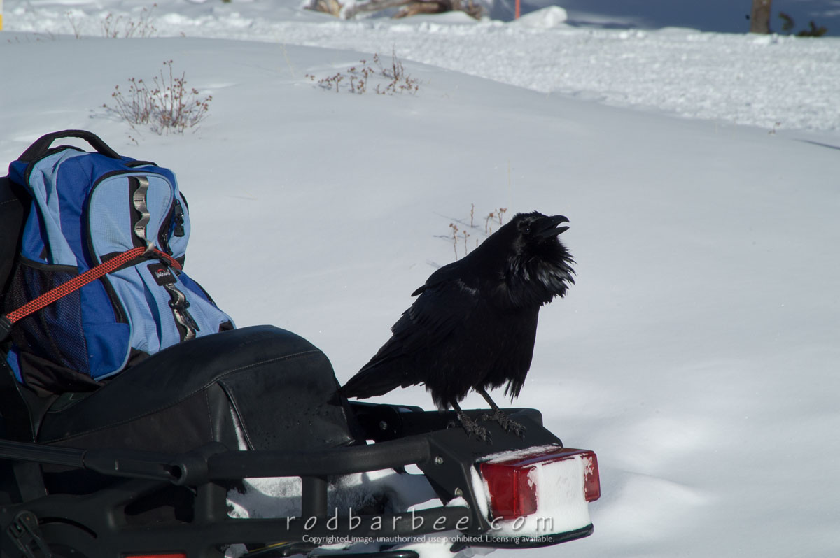 Barbee_060119_1_9811 |  Raven on snowmobile