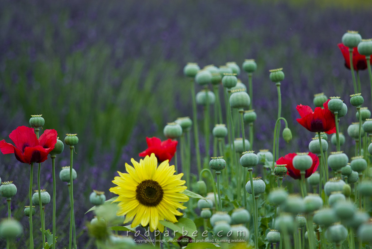 Barbee_070713_2_9982 |  Sunflowers, poppies, and lavender