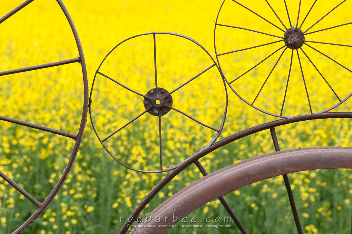 Barbee_140625_3_5067 |  Canola behind wheel fence at the Dahmen Barn in Uniontown, WA