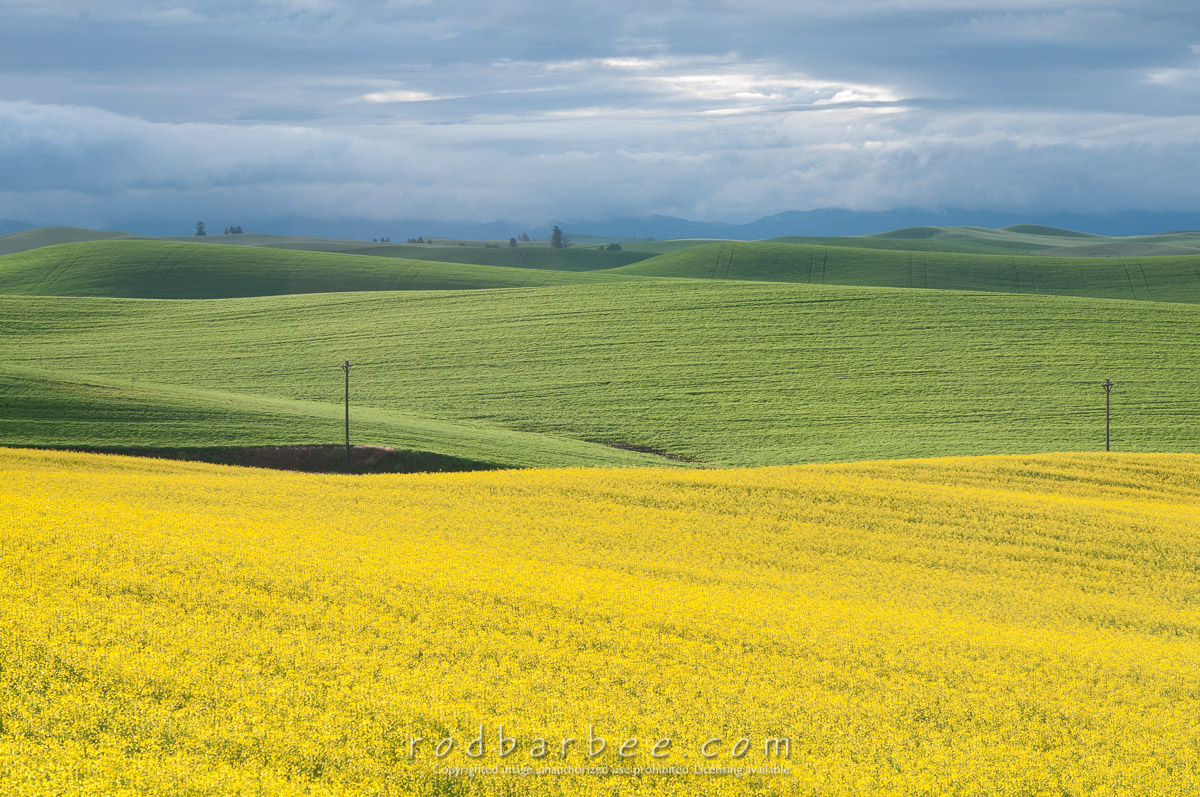 Barbee_140628_3_5380 |  Canola field off of Seabury Road, north of Oaksdale, WA