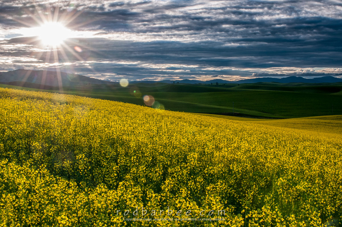 Barbee_140629_3_5548-Edit |  Canola field off of Seabury Road, north of Oaksdale, WA