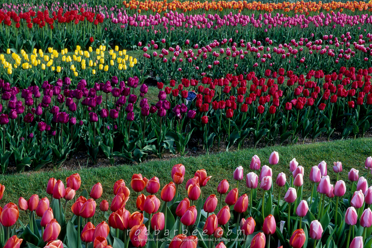 Barbee_11262 |  Roozengaarde Tulip Farm. Colorful tulips.