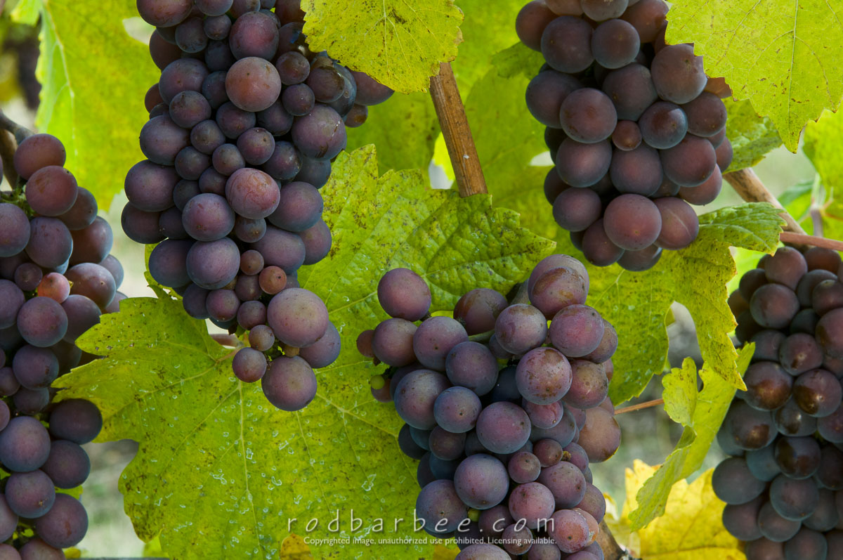 Barbee_081023_3_8792 |  Pino Gris grapes, Kramer Vineyards