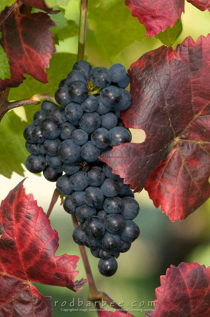 Barbee_101020_3_6134 |  Pinot Noir grape cluster and colorful grape leaves at Elk Cove Vineyards
