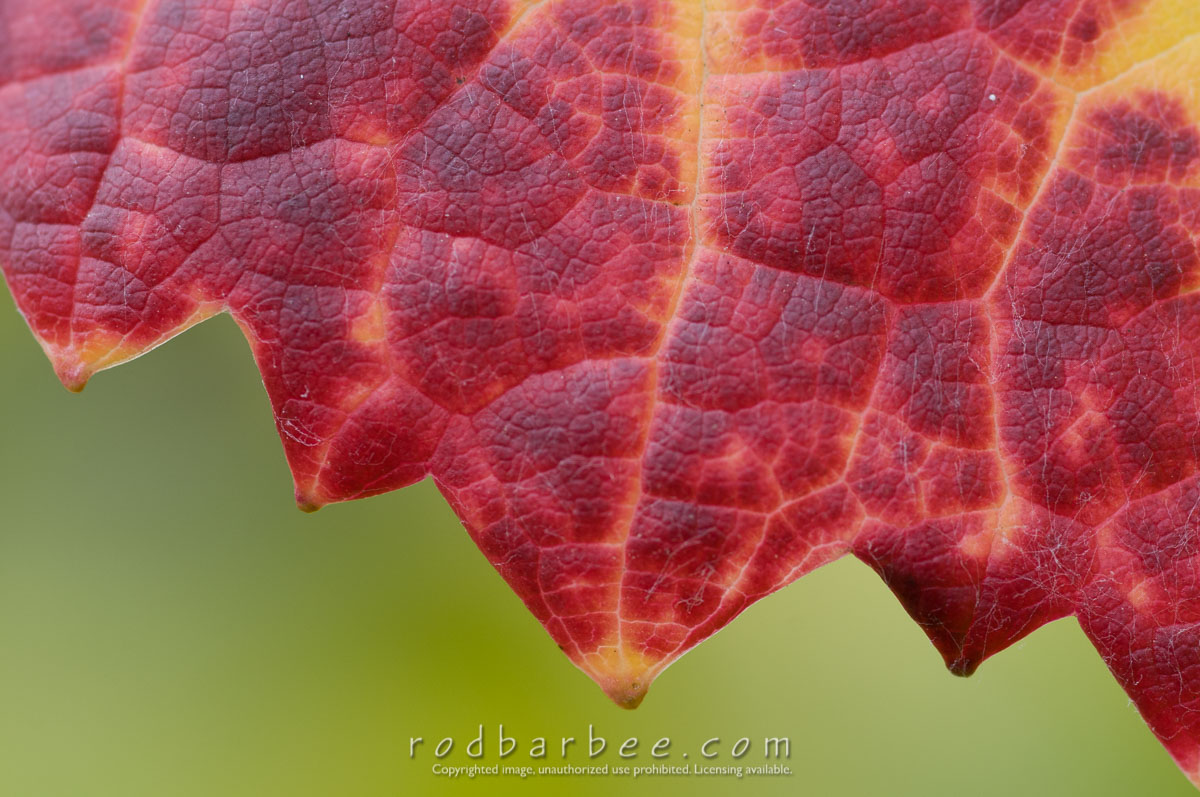 Barbee_101021_3_6346 |  Willakenzie Estate. Pinot Noir grape leaf detail. Harvest colors.