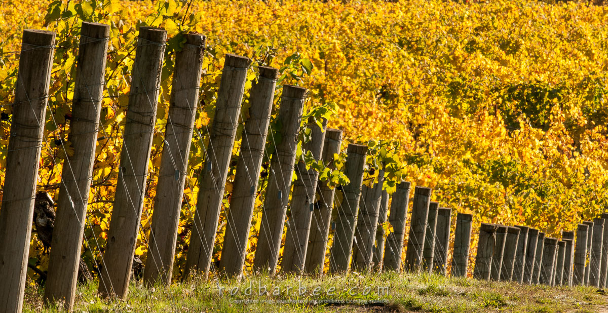 Barbee_131019_3_3435 |  Vineyard posts. Elk Cove Vineyards