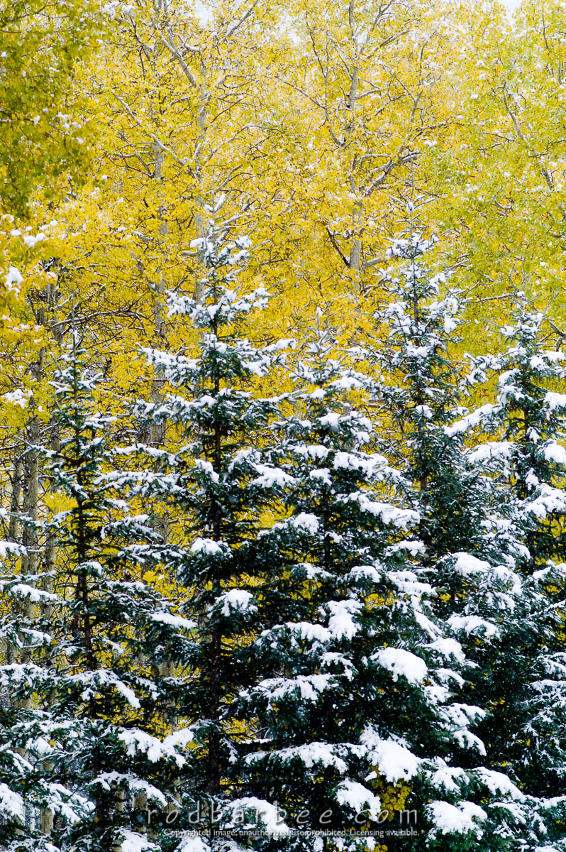 Barbee_050922_1_7379 |  Aspen, evergreens and snow along the Bow Valley parkway