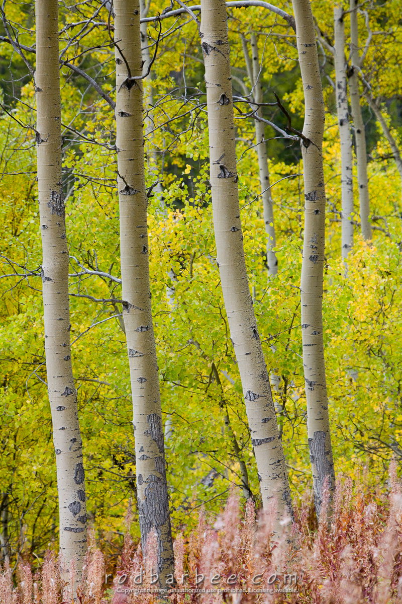 Barbee_070919_5D_9131 |  Aspens along the Icefield Parkway (Hwy 93)