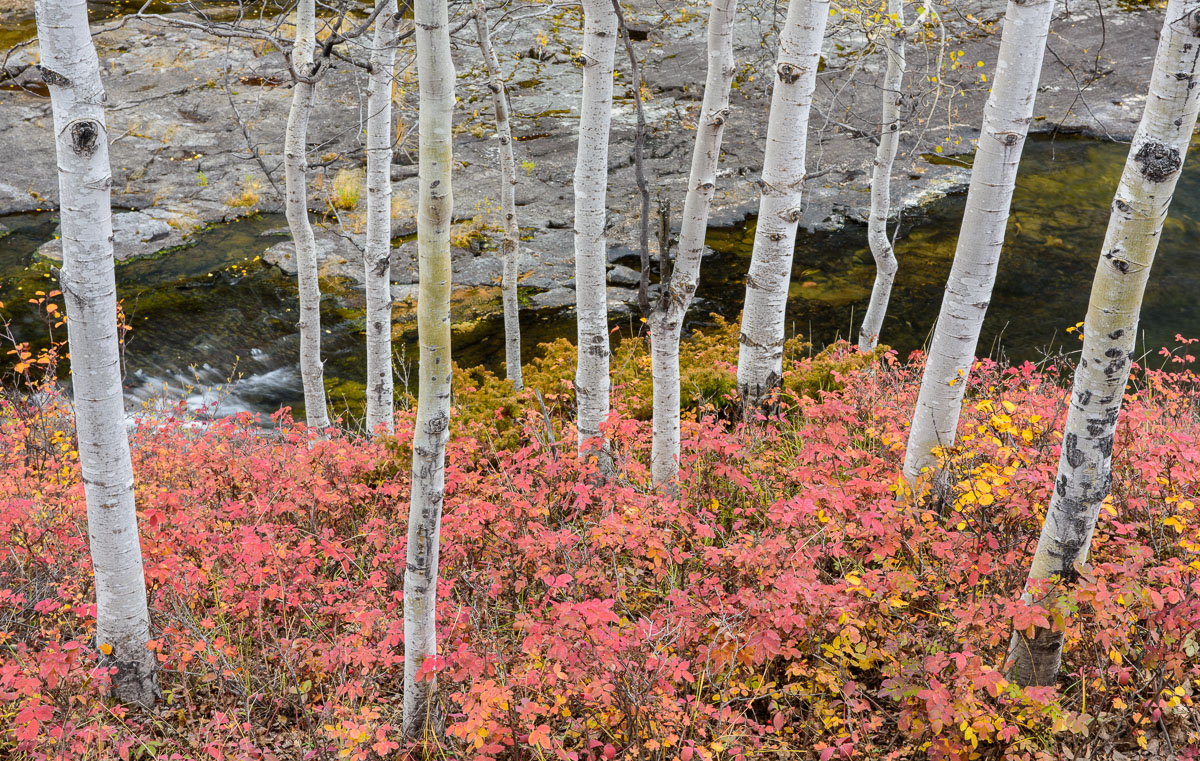 Barbee_140919_0229 |  Aspen trunks and fall color along the Cameron Falls Trail