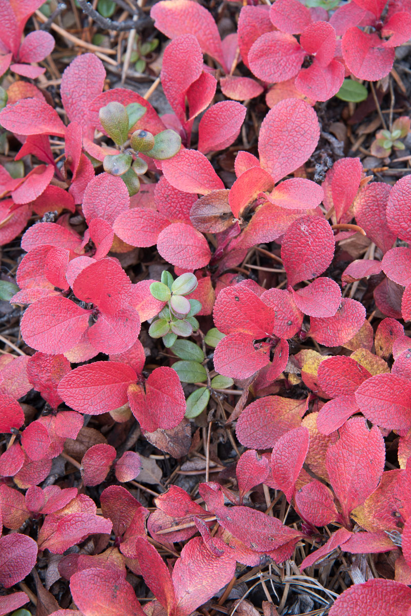 Barbee_140922_0451 |  Bearberry.
