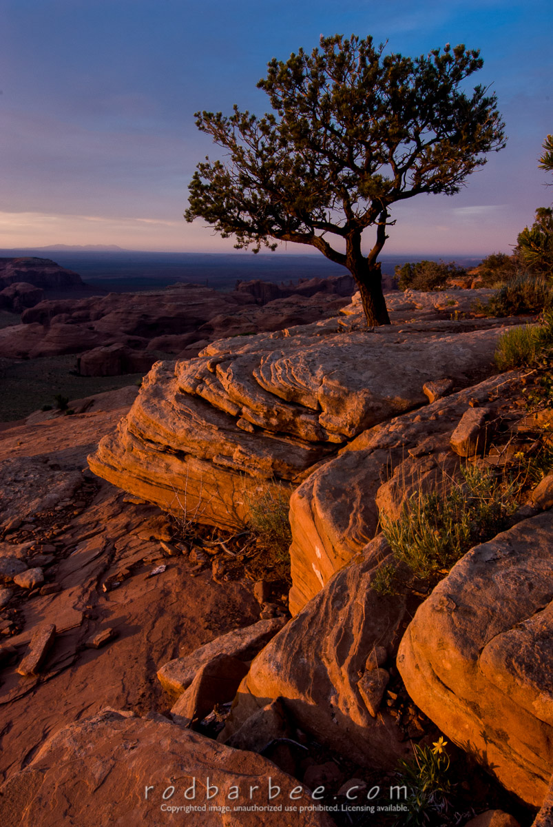 Barbee_070524_2_8559 |  Lone pine at sunset atop Hunt's Mesa, Monument Valley