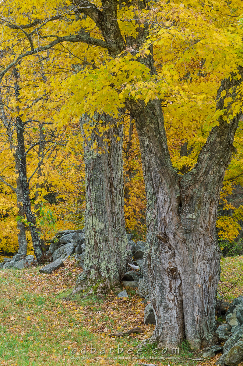 Barbee_041011_1_2699 |  Maples and rock wall
