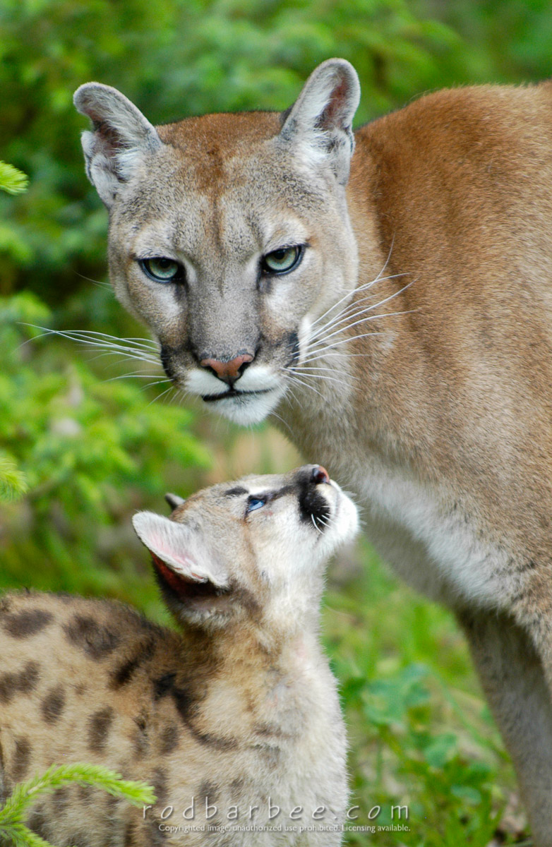 Barbee_040610_1_3028_crop |  Cougar mother and kitten, controlled conditions