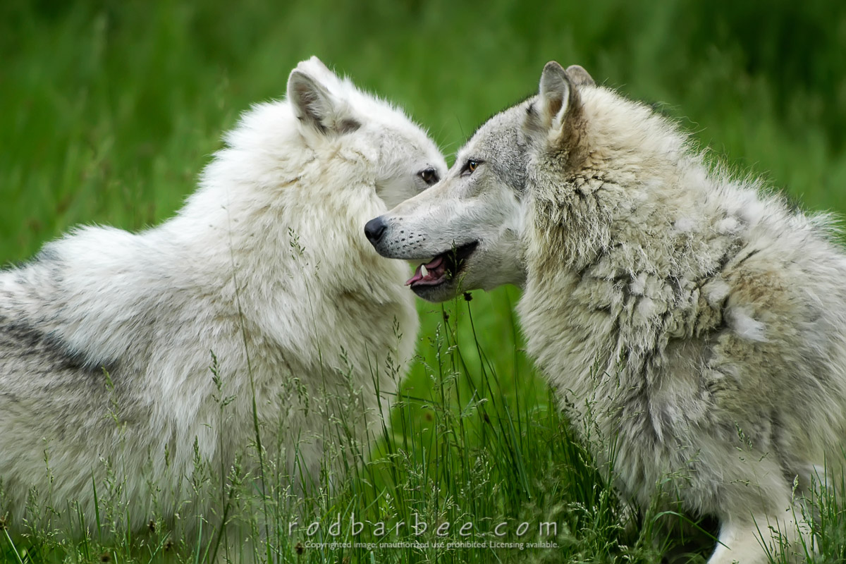 Barbee_0423_1_1401 |  Tundra wolves, controlled conditions