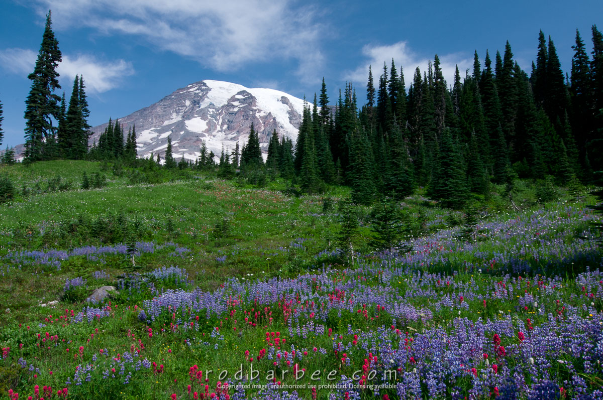 Barbee_090806_3_2096 |  Wildflowers and Mt. Rainier from Paradise.