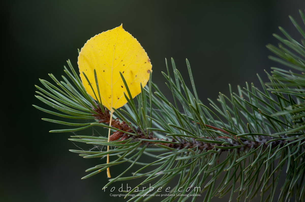 Barbee_101007_3_5734 |  Aspen leaf in pine. Grand Teton National Park, WY