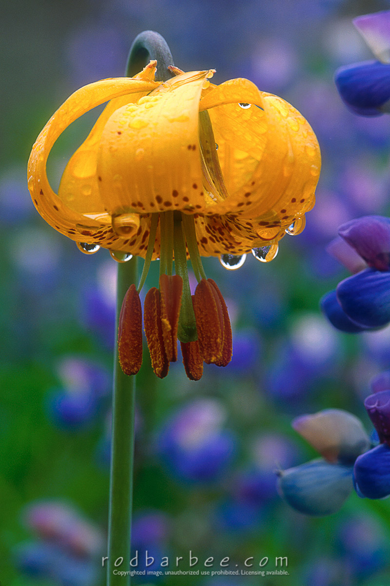 Barbee_11744 |  Tiger lily with dew drops, Olympic National Park